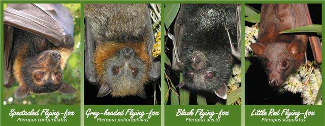 image of flying-foxes