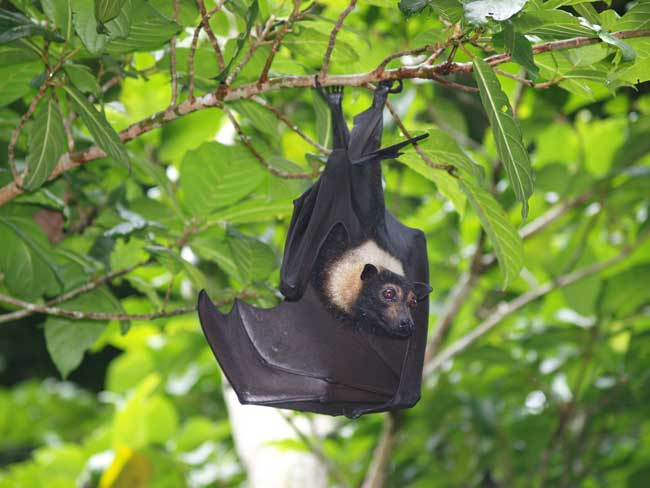 Image of specticled flying fox